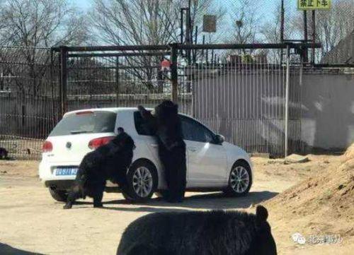 北京野生动物园:虎区游客下车也不会被老虎吃掉
