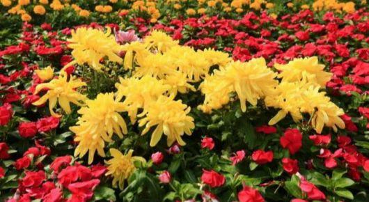 时令花卉扮靓圣城街头 喜迎国庆中秋
