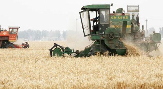我市小麦进入收获高峰期