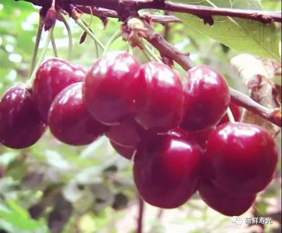 寿光田柳北岭村180户居民 有110户种植樱桃