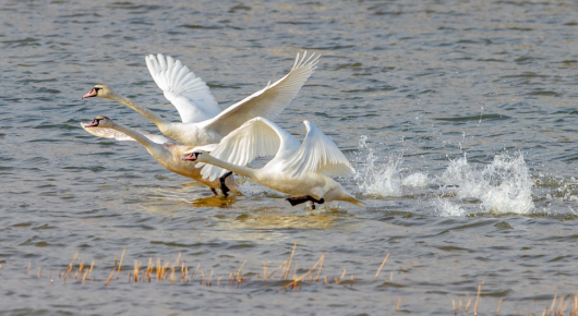 弥河生态好 天鹅结伴来