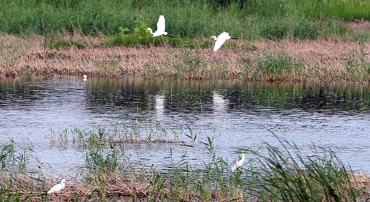 寿光这个场景很常见——弥河岸边水鸟飞