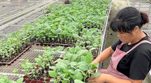 小种苗长成大产业 寿光市种苗产业产值突破10亿元